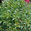 Gem Box Inkberry Holly Foliage