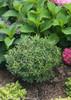 Small Gem Box Inkberry Holly Shrub