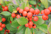 Little Goblin Orange Winterberry Holly Berries Up Close