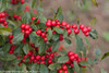 Little Goblin Red Winterberry Holly Berries Close Up
