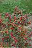 Little Goblin Red Winterberry Holly Branches With Leaves and Berries