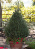 Patti O Japanese Holly Bush in Large Garden Planter
