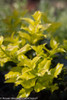 New Growth Pharos Gold Blue Holly Yellow Leaves