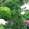 Sky Pointer Japanese Holly in the Garden