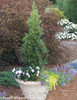 Sky Pointer Japanese Holly in Garden Planter