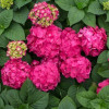 Endless Summer Summer Crush Hydrangea with Raspberry Red Blooms
