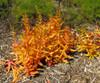 Crassula capitella 'Campfire'