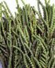 Watch Chain Succulent Plant