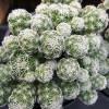 Thimble Cactus Succulent