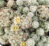 Thimble Cactus Flowering Picture
