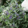 Beyond Midnight Bluebeard Up Close Flowers