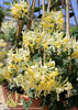 Scentsation Lonicera with White Yellow Blooms
