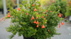 Punica granatum Peppy Le Pom Bush with Blooms  .png
