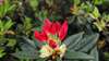 Dandy Man Color Wheel Rhododendron with Foliage and Red Bloom  .png