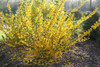 Flying Machine Forsythia Bush with Yellow Blooms