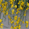 Sister Golden Hair Scotch Broom with Yellow Flowers