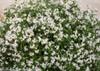 Yuki Snowflake Deutzia with White Blooms