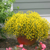 Bangle Genista Yellow Blooms in Pot