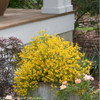 Bangle Genista in Landscaping