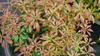 Interstella Lily of the Valley Shrub with Foliage  .png