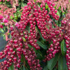 Interstella Lily of the Valley Shrub with Red Flowers