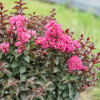 Rikki Tikki Pink Crape Myrtle with Pink Blooms