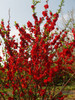 Double Take Scarlet Quince Red Blooms in Landscape