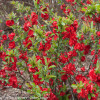 Double Take Scarlet Quince Bush with Red Flowers