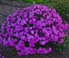 Cloudburst Phlox with Purple Pink Blooms