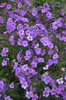 Cloudburst Phlox with Purple Pink Flowers