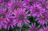 Leading Lady Plum Bee Balm Purple Flowers Up Close