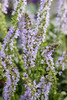Color Spires Crystal Blue Salvia Blue Blooms Up Close