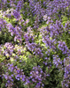 Cats Meow Catmint Blooming