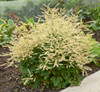 Chantilly Lace Goatsbeard Blooming