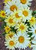 Amazing Daisies Banana Cream Shasta Daisy Yellow Flowers