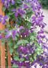 Happy Jack Purple Clematis Vine
