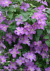 Jolly Good Clematis Vine Vilote Flowers