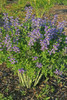 Baptisia Blueberry Sundae in Landscaping