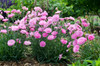 Fruit Punch Sweetie Pie Pinks Dianthus in Landscaping