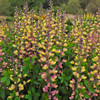 Decadence Pink Lemonade False Indigo with Pink Yellow Blooms