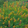 Decadence Cherries Jubilee False Indigo with Red Yellow Flowers