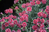 Fruit Punch Black Cherry Frost Pinks Dianthus