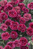 Fruit Punch Black Cherry Frost Pinks Dianthus with Red Blooms