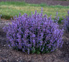 Cats Pajamas Catmint with Purple Blooms in Landscaping