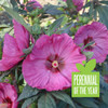 Summerific Berry Awesome Hibiscus Perennial of the Year