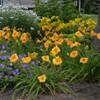 Rainbow Rhythm Orange Smoothie Daylily in Landscape