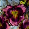 Rainbow Rhythm Storm Shelter Daylily Purple Flower Up Close