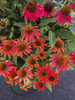 Lakota Fire Coneflower with Red Orange Flowers