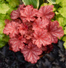 Primo Peachberry Ice Coral Bells Foliage