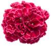 Fruit Punch Raspberry Ruffles Pinks Dianthus Pink Flower Up Close